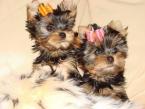 ,2 Rodokmeň Yorkshire Terrier Šteniatka Vet