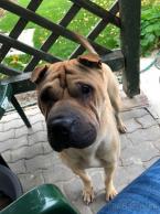 Pinče, bradáče, molosoidy a švajčiarske salašnícke psy,ŠARPEJ