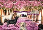 Retrívre, sliediče a vodné psy,LABRADORSKÝ RETRÍVER