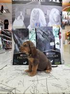 ,bloodhound