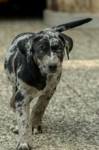 ,Louisiansky leopardí pes s PP