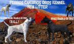 ,Dogo Canario - Kanarska Doga