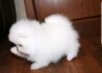 ,Pomeranian šteniatka na prijatie