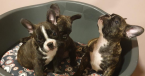 Spoločenské a sprievodné psy,FRANCÚZSKY BULDOČEK