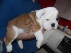 ,Anglický buldog psi a šteniatka na predaj