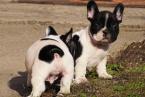 ,Krásnyy francúzsky buldoček šteniatko