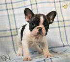 ,Krásny francúzsky buldoček šteniatko