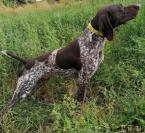,NKS - pes poľovne upotrebiteľný