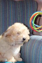 Spoločenské a sprievodné psy,HAVANSKÝ PSÍK