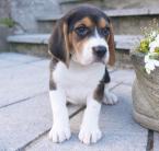 ,Kvalitné šteniatka Beagle