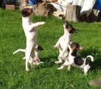 ,Krásne šteniatka Jack Russell