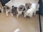 ,Roztomilé šteniatka Akita sú k dispozícii
