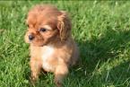 ,Teraz sú k dispozícii dve šteniatka Cavalier King Charles Spaniel