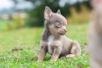 ,Krásne šteniatka čivavy