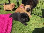 ,Potty Trained Chow K dispozícii sú šteniatka