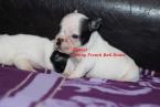 ,French bulldog puppies
