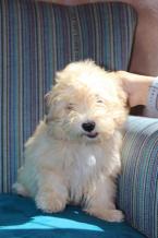 ,Havanese bichon puppy
