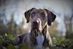 ,Louisiánsky leopardí pes / Catahoula - chovný pes - krytie