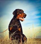 , Dobermann puppies