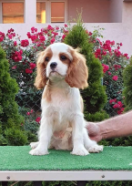 , Cavalier king charles spaniel puppies