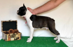 , Boston terrier puppies