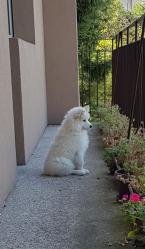 ,Samoyed puppies