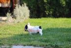 ,French bulldog