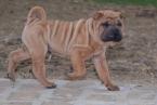 ,Shar pei puppy