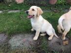 ,Labrador s Preukazom pôvodu