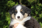 , Australian Shepherd Puppies