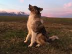 Ovčiaky a pastierske psy,BORDER KÓLIA