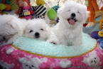 , Top Quality Cute Maltese Pups