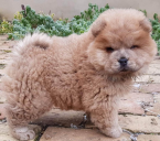 ,Chow chow puppy