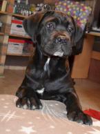,Na predaj šteniatko Cane Corso