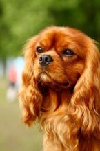 Spoločenské a sprievodné psy,KAVALIER KING CHARLES ŠPANIEL