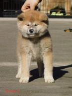 ,Japonské šteniatka Akita