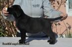 ,Šteniatka retrievera Labradora