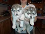 ,šteniatka aljašský malamut