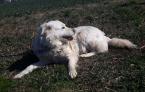 Ovčiaky a pastierske psy,SLOVENSKÝ ČUVAČ