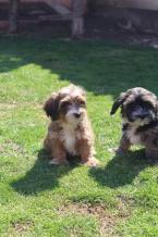 Spoločenské a sprievodné psy,BOLOŇSKÝ PSÍK