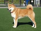 ,Kúpim šteniatko Shiba Inu