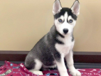 ,Prodaju se predivni sibirski husky štenad