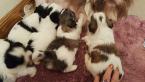 ,intelligent shih tzu puppies for sale