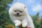 ,Pomeranian Boo, biele šteniatko