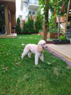 Spoločenské a sprievodné psy,PUDEL STREDNÝ