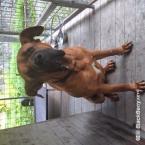 Pinče, bradáče, molosoidy a švajčiarske salašnícke psy,TOSA - JAPONSKÁ DOGA