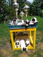 ,Jack Russell Terrier