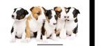 ,Kúpim šteňa fenky bulteriera či miniatúrneho bulteriera s papiermi.