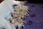 ,Labrador Retriever - šteniatka s rodokmeňom pôvodu