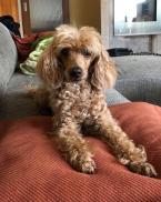 Spoločenské a sprievodné psy,PUDEL TRPASLIČÍ